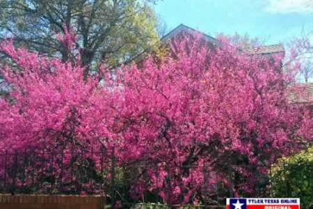 Pink flowering trees in texas beautiful flowers 2018 beautiful cherry dogwood top texas trees for fall color blog preservation tree services halleck crapemyrtle lagerstroemia indica light pink blooming close up mightylinksfo