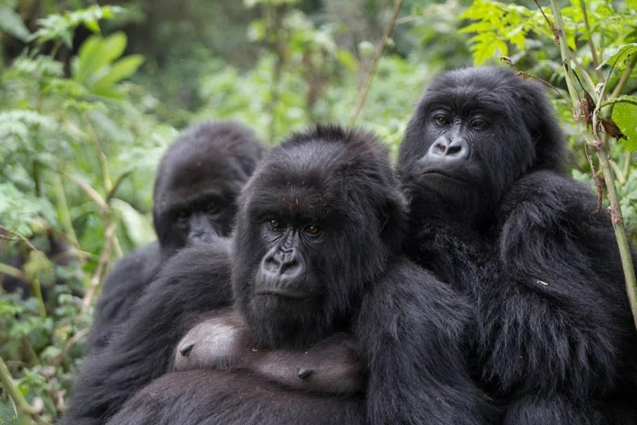 Mountain Gorillas Have Herpes Virus Similar To That Found