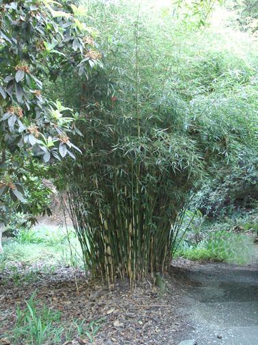 Non Running Bamboo