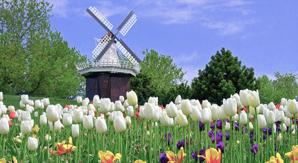 The Netherlands to Produce Two Billion Tulips in 2017   Urban Gardens The origin of the tulip s popularity can be traced back in the late 16th  early 17th centuries  After merchants from the Ottoman Empire introduced  the