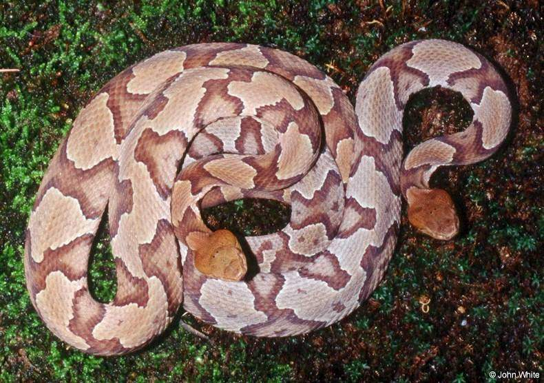 Timber Rattlesnake? Massasauga Rattlesnake? - Rosslyn ...