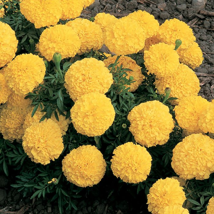 Inca 2 Yellow Marigold   Flowers And Bulbs   Veseys Details