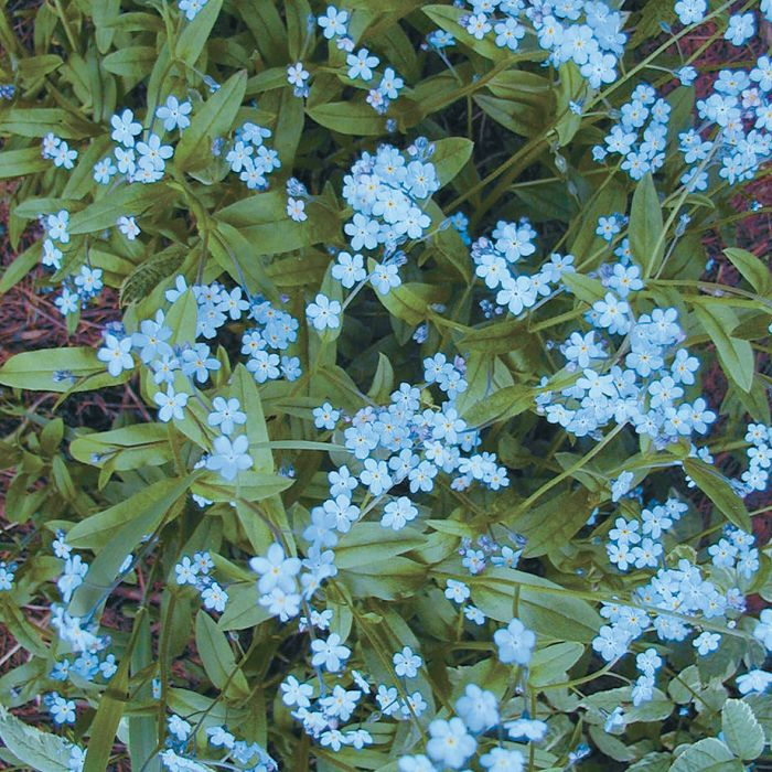 Indigo Blue Forget Me Not   Flower Seeds   Veseys Details