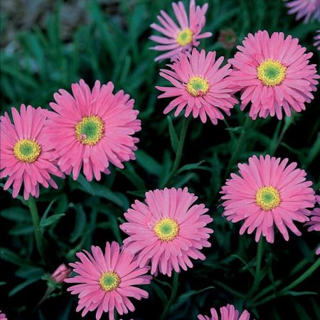 Pinkie Aster   Flowers And Bulbs   Veseys Details