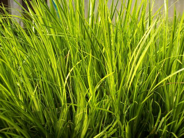 Evergreen Pond Plants