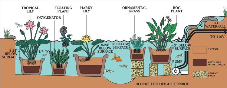 Oxygenating Plants Fish Ponds
