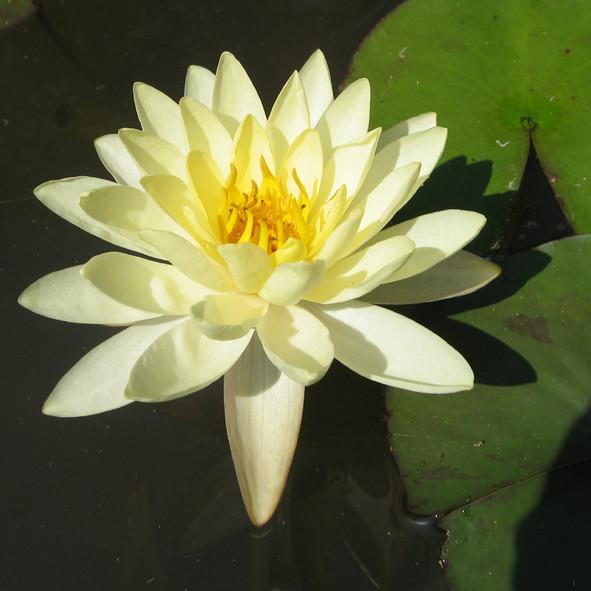 Lotus Night Cream Results