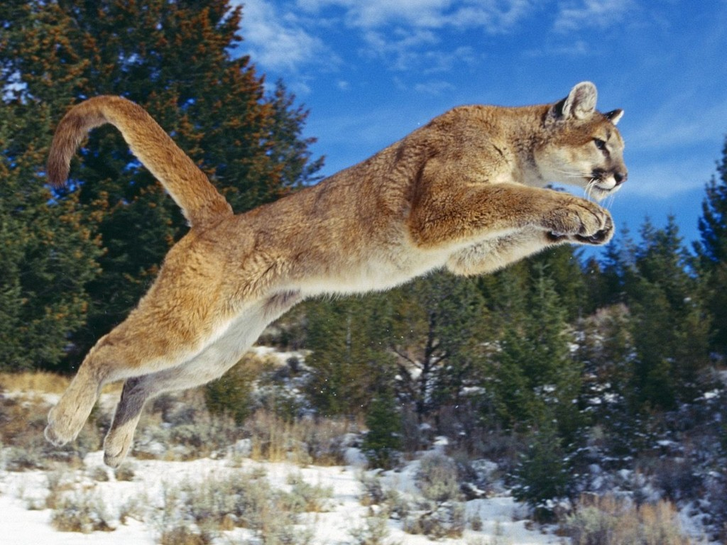 Puma Wallpaper   Cool Wallpapers!   HD Backgrounds!   Free ...