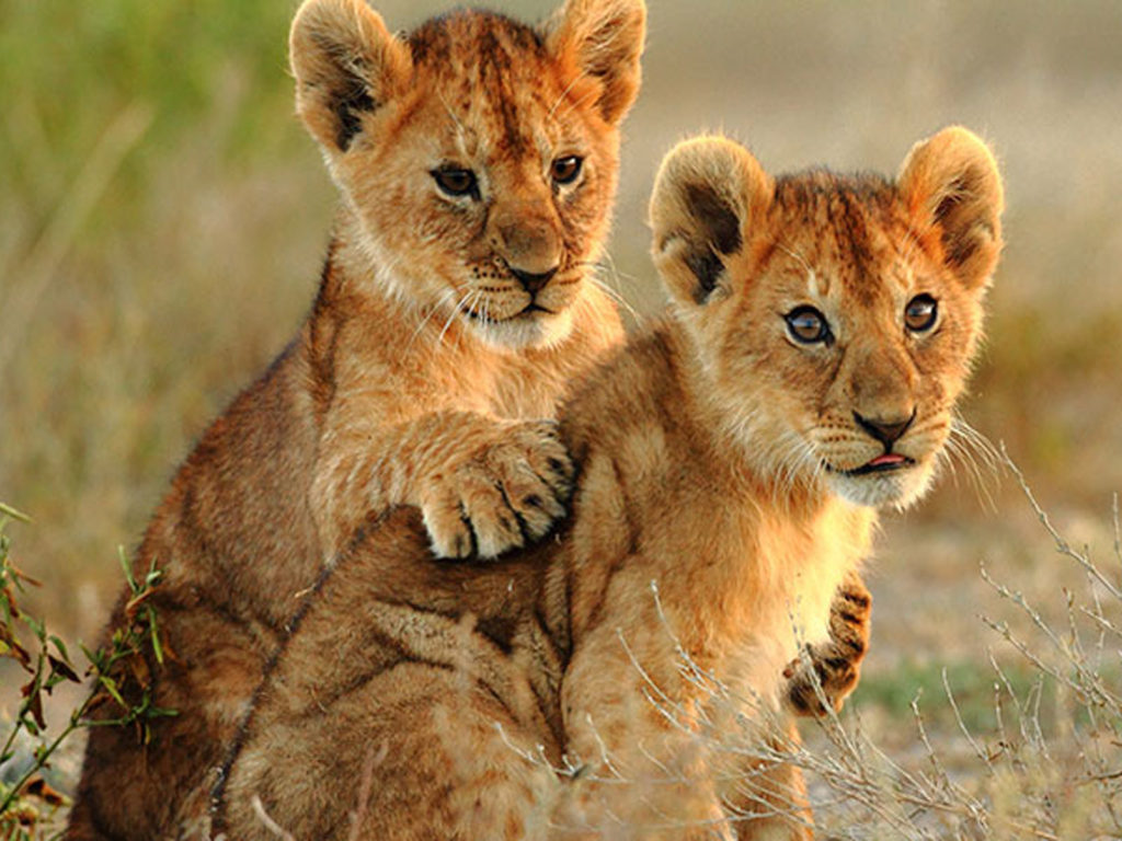 Two Small Lions Cubs Hd Wallpaper For Laptop