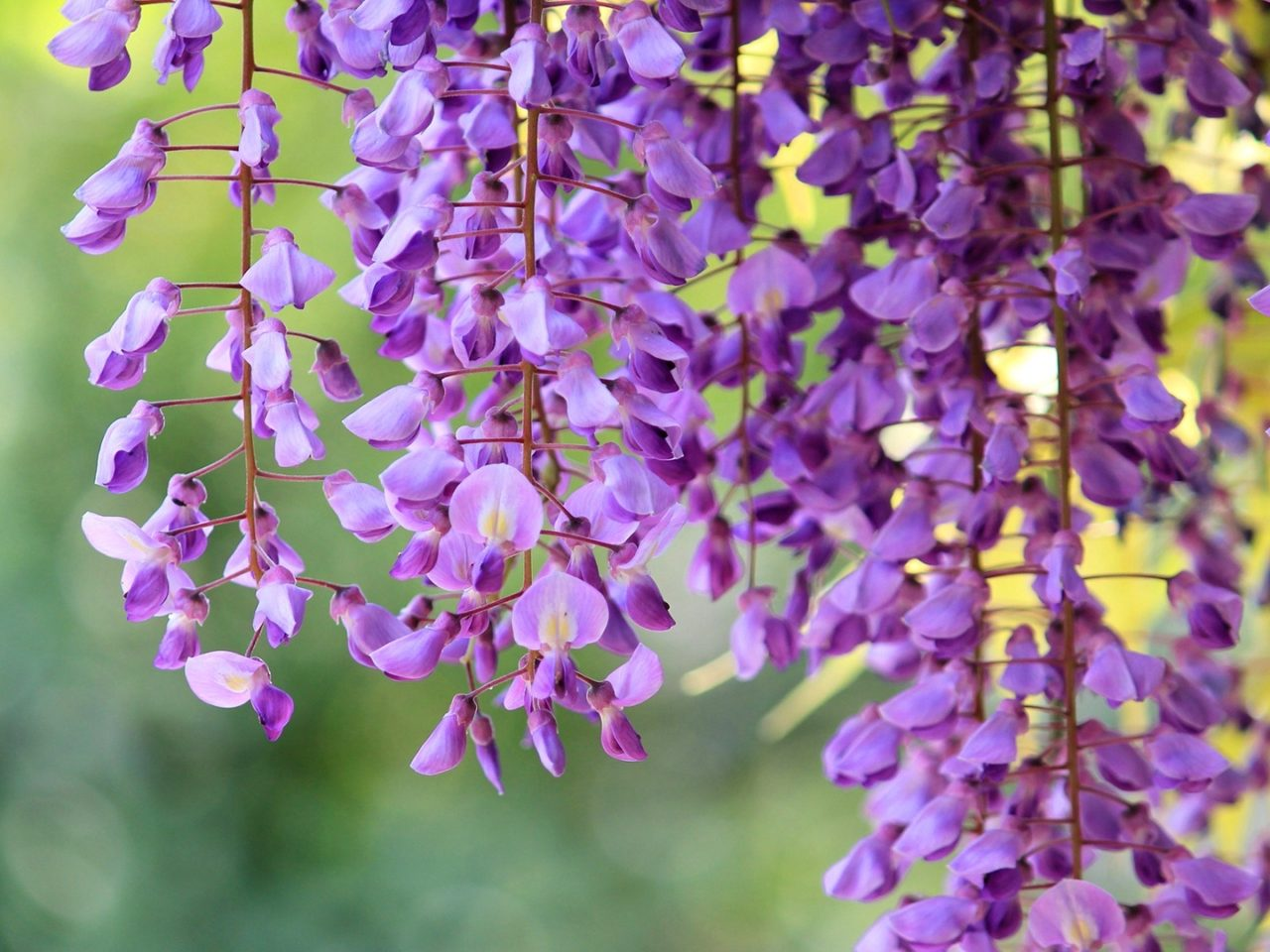 Beautiful Purple Wisteria Wallpaper Desktop Wallpaper Hd