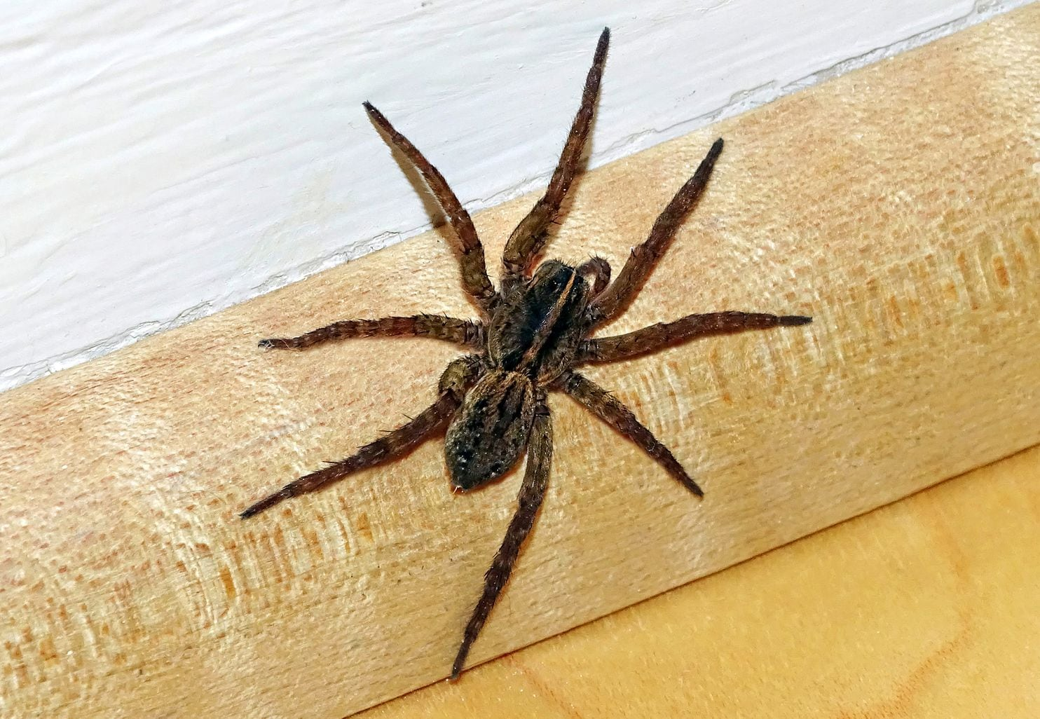 Large Brown Spiders Common Greer South Carolina