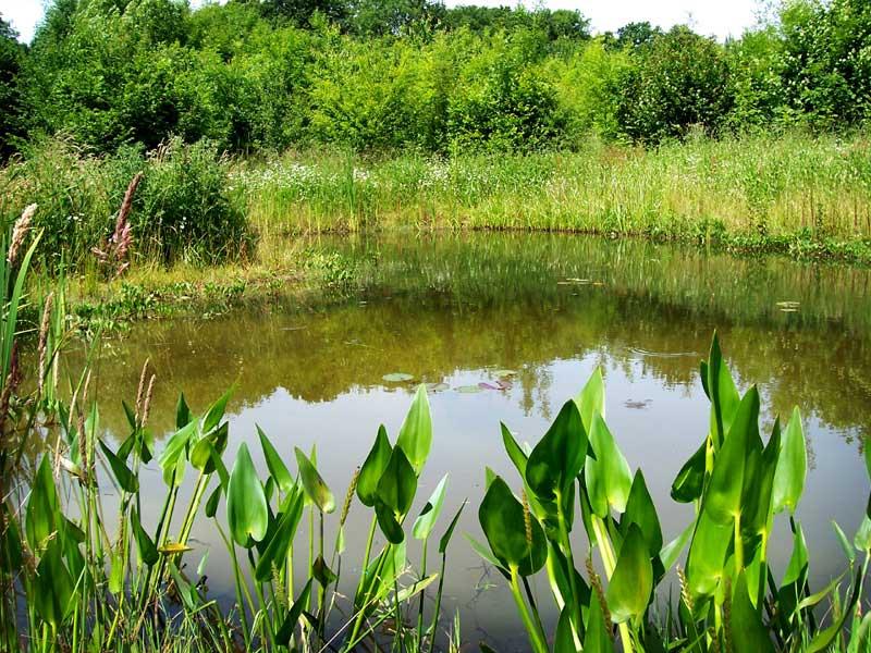 Marginal Plants Small Ponds