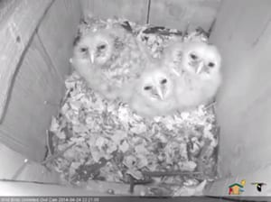 Barred Owl Nest Cam   Wild Birds Unlimited   Wild Birds Unlimited blog 20140424 3chicks 600x448