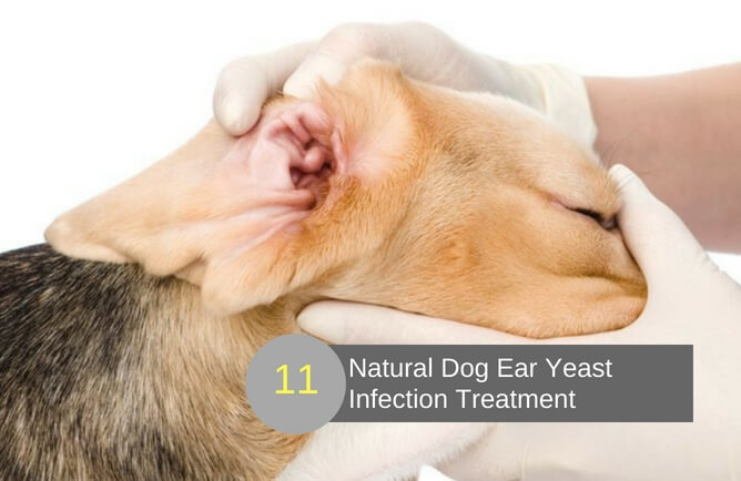 Infection Dog Ear Yeast