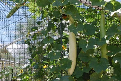 Cucuzzi Squash Gourd Seeds