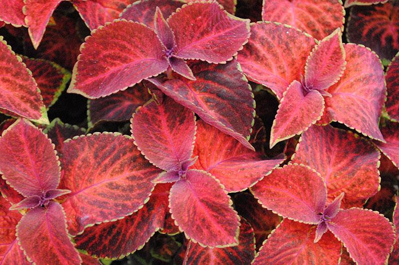 Most Colorful Succulents