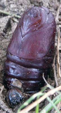 Saturnid Moth Pupa What S That Bug