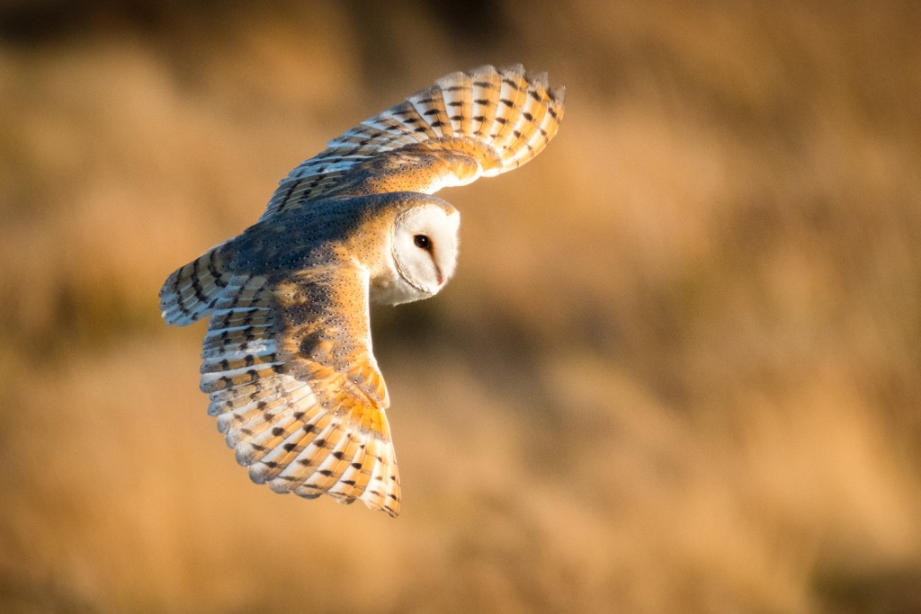 The 2019 Barn Owl Calendar - Whitby Photography