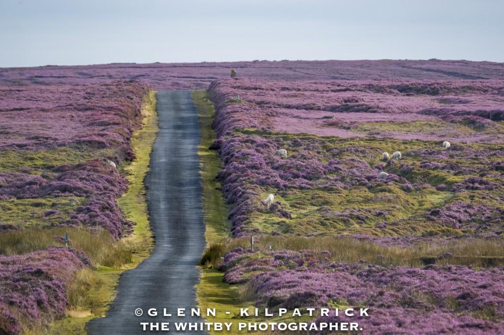 North York Moors Heather Bloom Rosedale Moor Whitby