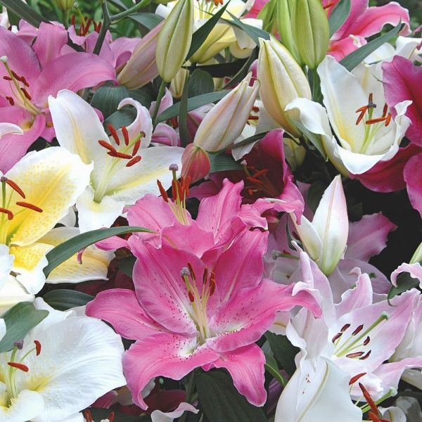 Lilies  Lily Flowers  Lily Bulbs  Lily Gardens   More   White Flower     Lilies
