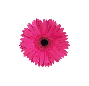 Buy Wholesale Fresh Cut Dark Pink Mini Gerbera Daisy Flowers Dark Pink Mini Gerbera Flowers