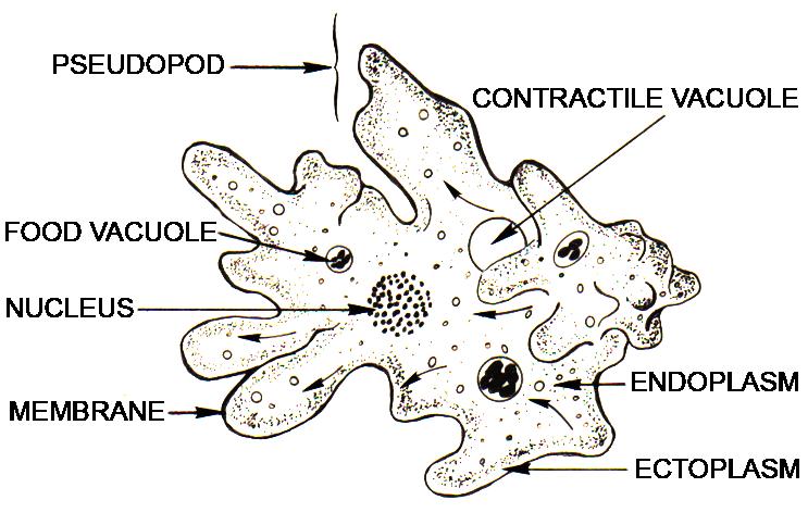 Microscope Euglena Under Cells