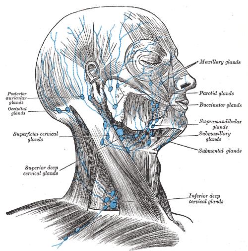Neck Anatomy Lymph Node List