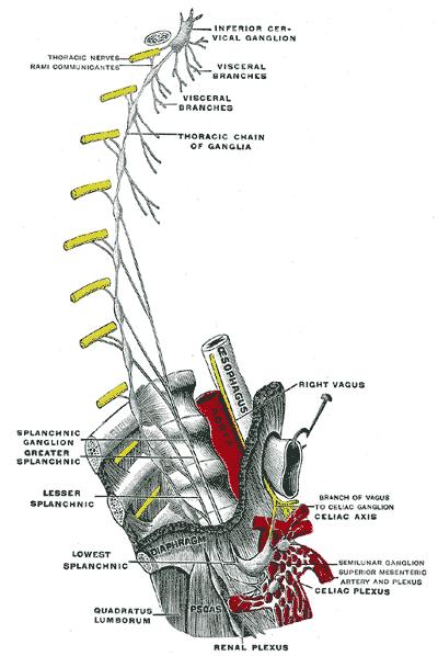 Splanchnic Pelvic And Nerves Sacral