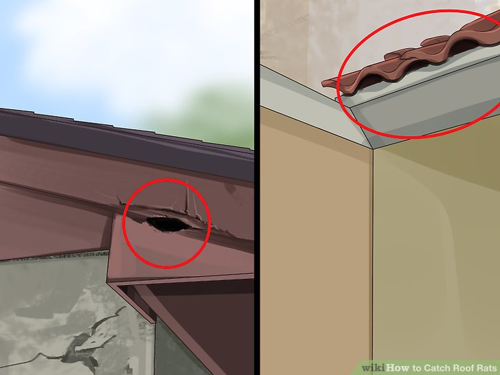 Where Do Roof Rats Live