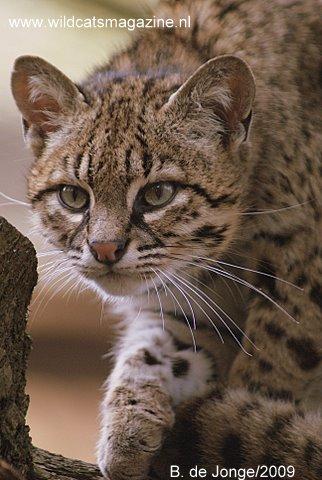 Geoffroy S Cat Leopardus Geoffroyi Wild Cats Magazine