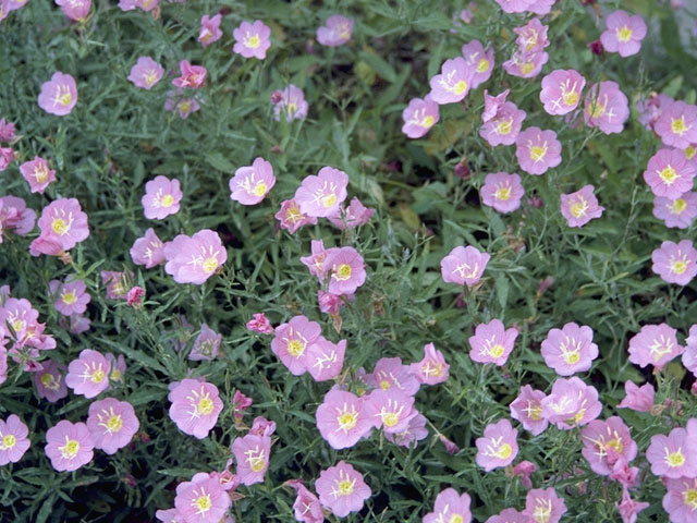 Oklahoma Native Identification Plants