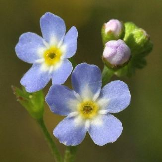 Wildflower Forget me not  Water Irish Wild Flora Wildflowers of Ireland Forget me not  Water