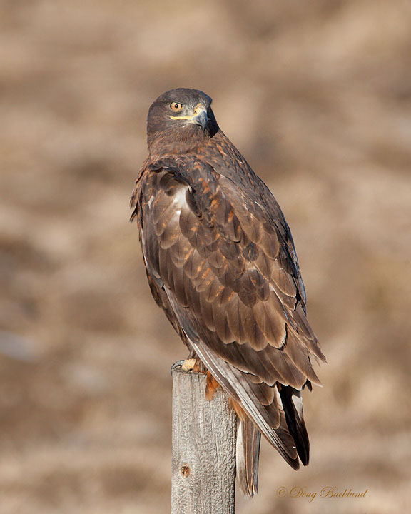 Ferruginous Hawk Dark Morph