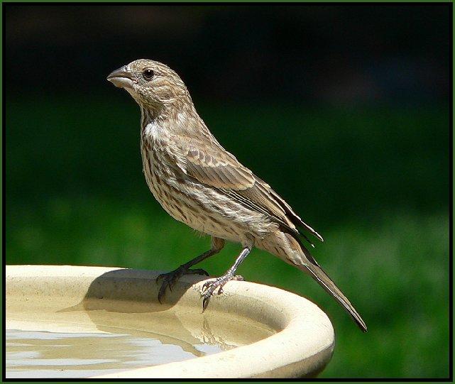 Photos Of Utah Birds House Finch 1 2 Male Female