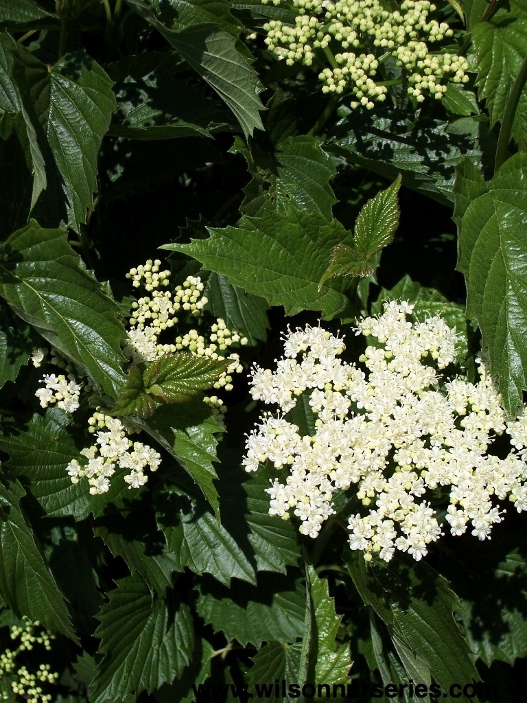 Autumn Jazz 174 Viburnum Wilson Nurseries