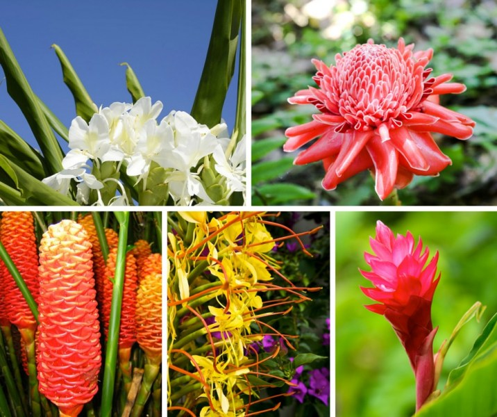 Hawaiian Flower Buying Guide From With Our Aloha Hawaiian Flower Guide   Ginger