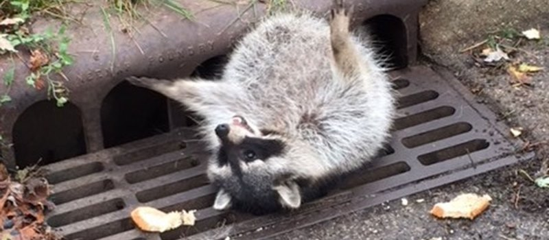 Fat Trash Panda Stuck In A Grate Gets Rescued By Local