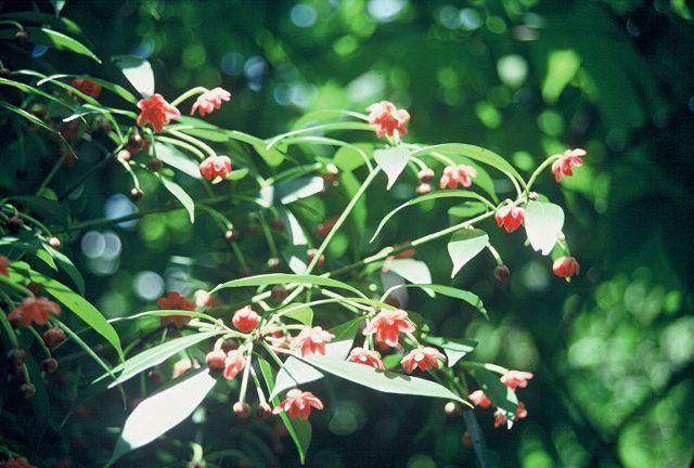 Illicium Henryi Henry Anise Tree From Woodlanders Inc