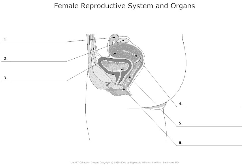Blank Female Human Reproduction
