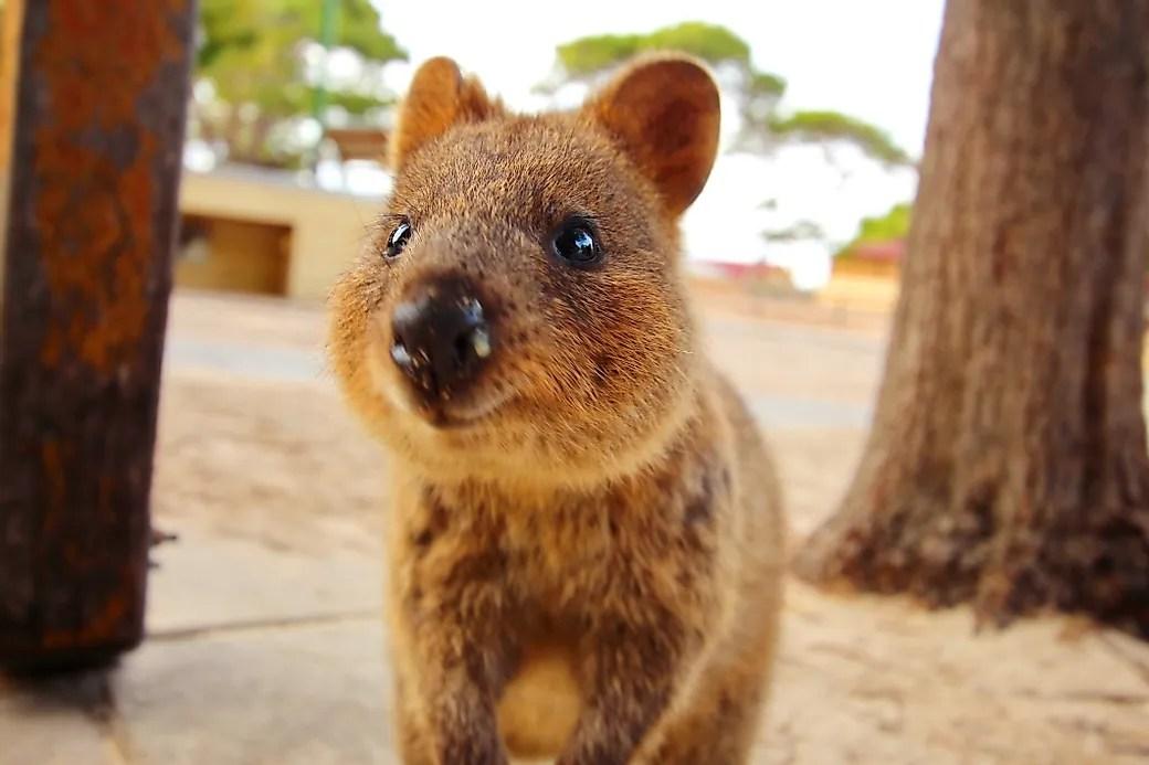 Quokka Facts Animals Of Oceania Worldatlas Com
