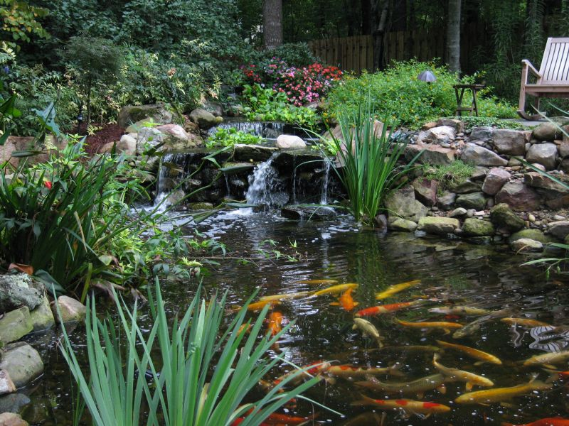 Water Goldfish Proper