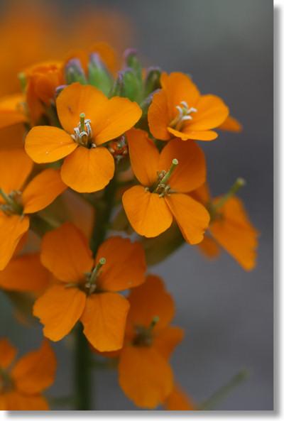 Yosemite Wildflowers Western Wallflower Erysimum Capitatum