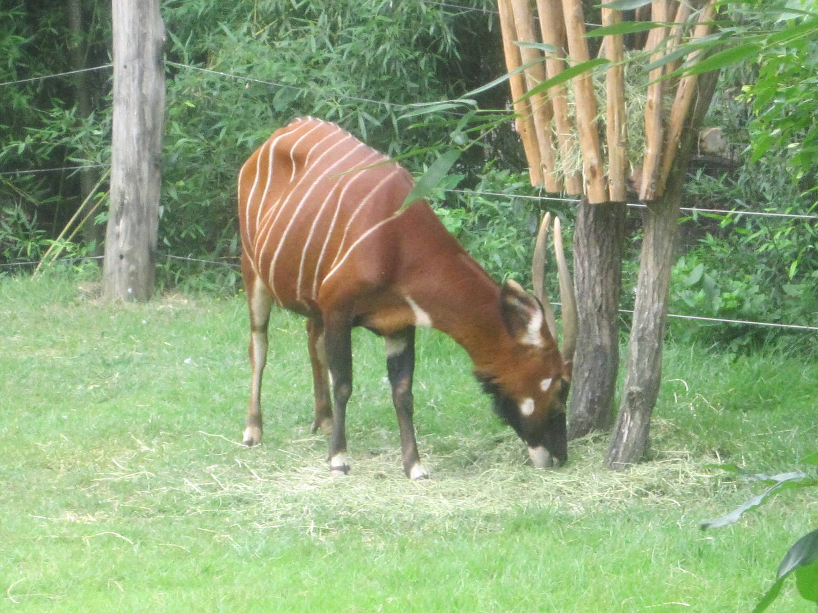 Jul. 2012-Female Eastern Bongo - ZooChat