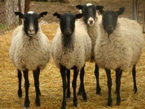 羊ロマンフスカヤの品種