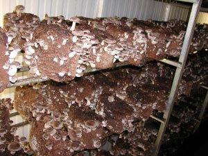 Funghi in crescita Shiitake a casa