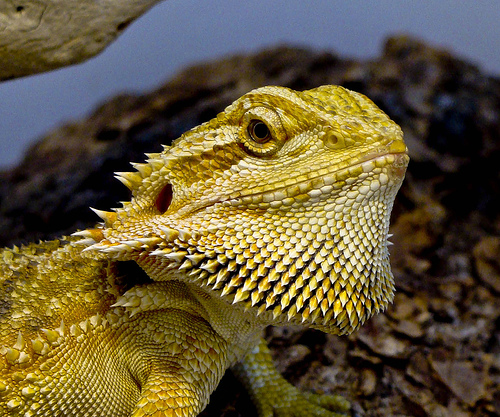 Bearded Dragons - Facts And History   Youngzine