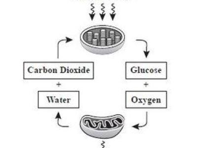 Photosynthesis And Cellular Respiration Map Photosynthesis Diagram