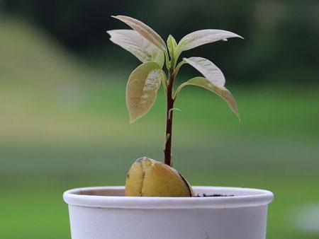 Сүйектен авокадо